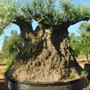 CENTENNIAL BONSAI OLIVE TREE.