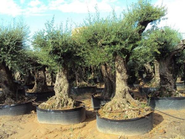 Ulivi secolari piante e giardini import export di for Ulivi bonsai prezzi