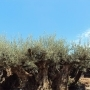 SMALL OLIVE TREE